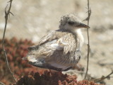 Least Tern (chick)