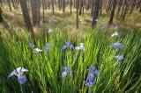 Iris in bloom.