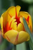 Tulip_festival_2008