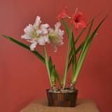 Amarylis plant