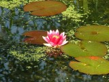 Waterlily in Bakewell