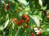 Cherries in Bakewell