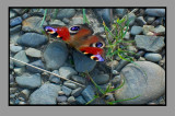 The Ukrainian butterfly