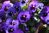 Purple... (Pansies)