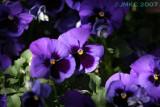 Purple... 2 (pansies)
