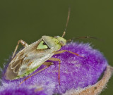 Unknown Insect on Mexican Sage spire