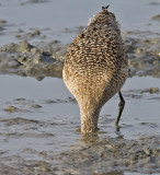 Marbled Godwit goes into the mud after a meal