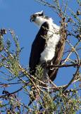 Ospreys (Pandion haliaetus)