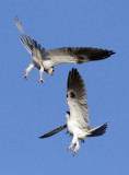 White-tailed Kites   #3 of 4