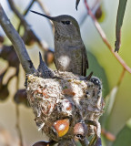 Female Anna's Hummingbird and babies
