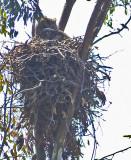 Great Horned Owl on it's nest