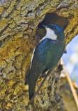 Tree Swallow at nest hole
