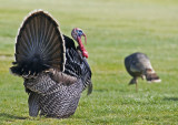 Male Wild Turkey displaying to an uninterested female