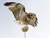 Red-tailed Hawk on flag pole of old yacht club