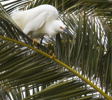 Snowy Egret out on a limb