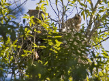 Red-shouldered Hawk pair on nest