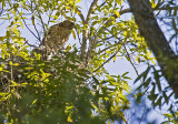 Red-shouldered Hawk ready to leave the nest after shift change