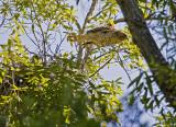 Red-shouldered Hawk leaving the nest