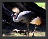East African Crowned Crane2