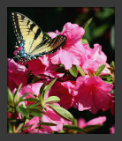 Yellow Swallowtail on Azaleas