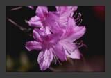 Lavender Azaleas