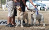 Labrador Retreiver and Golden Retreiver