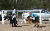Rottweiler and German Shepherd