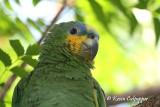 Orange-Winged Amazon Parrot