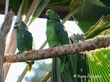 Orange-Winged  and Yellow-Crowned Amazon Parrots