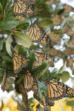 Monarchs Resting in Trees