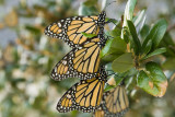 Monarchs Resting on Branch