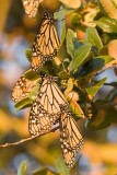 Monarchs at Sunrise