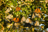 Monarchs Stirring in Morning Sun