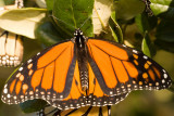 Monarch Warming