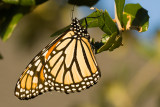 Monarch Awakening