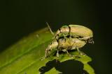Phyllobius calcaratus 2