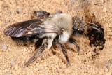 Solitary Digger Bee, Andrena vaga 1