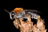 Early Mining Bee, Andrena haemorrhoa, female 2