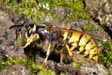 Common Wasp, Vespula vulgaris, Almindelig gedehams 2