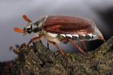 Common cockchafer, Melolontha melolontha, Almindelig oldenborre 3