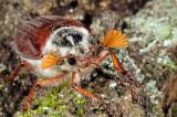 Common cockchafer, Melolontha melolontha, Almindelig oldenborre 4