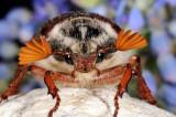 Common cockchafer, Melolontha melolontha, Almindelig oldenborre 5
