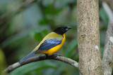 Black-chinned Mountain-Tanager4