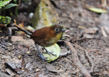 Yellow-breasted Antpitta3