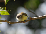 Brown-capped Vireo2