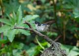 White-winged Brush-Finch3