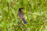 Black-capped Donacobius