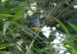 Streak-headed Antbird