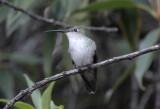 Green-and-white Hummingbird