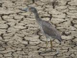 Yellow-crowned Night-Heron2